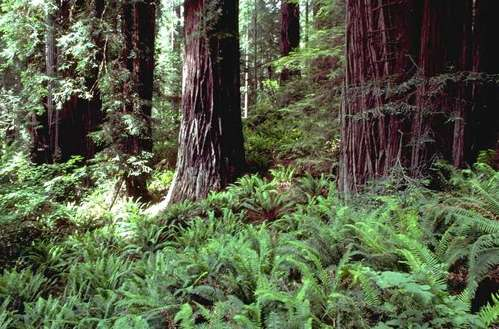 Redwoods and ferns in Redwood National Park, California