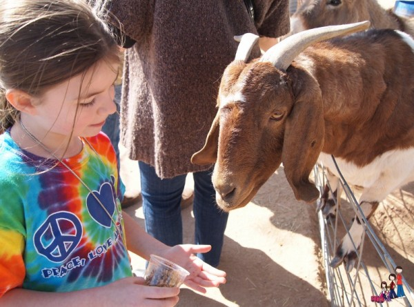Feeding a goat at Superstition Farms