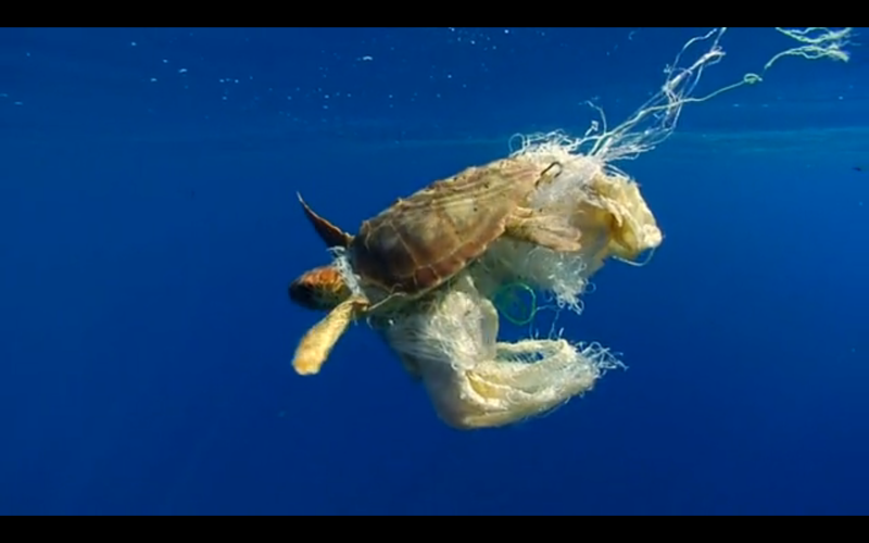 Turtle Caught in Plastic