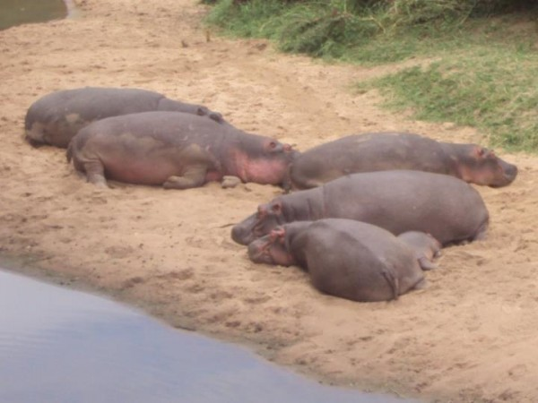 Hippo lounging Mweya Safari Lodge 600x450 Count Hippos at Mweya Safari Lodge in Africa